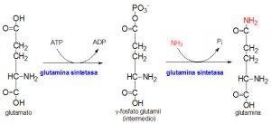 Determinación simultánea de glutamina y glutamato